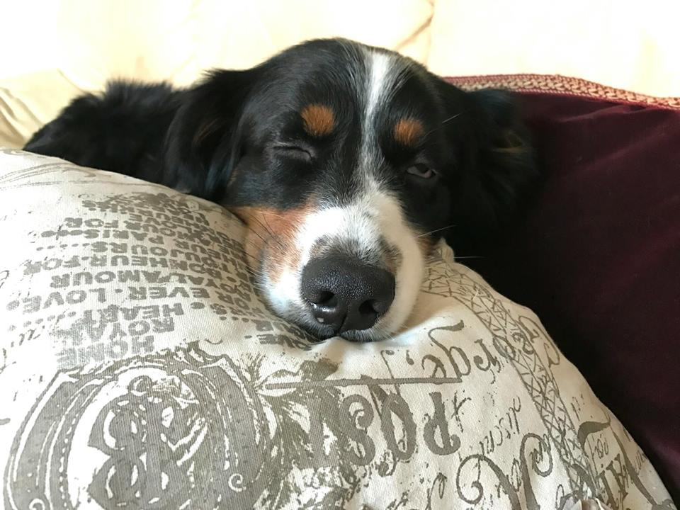 Cani sul divano - Duke