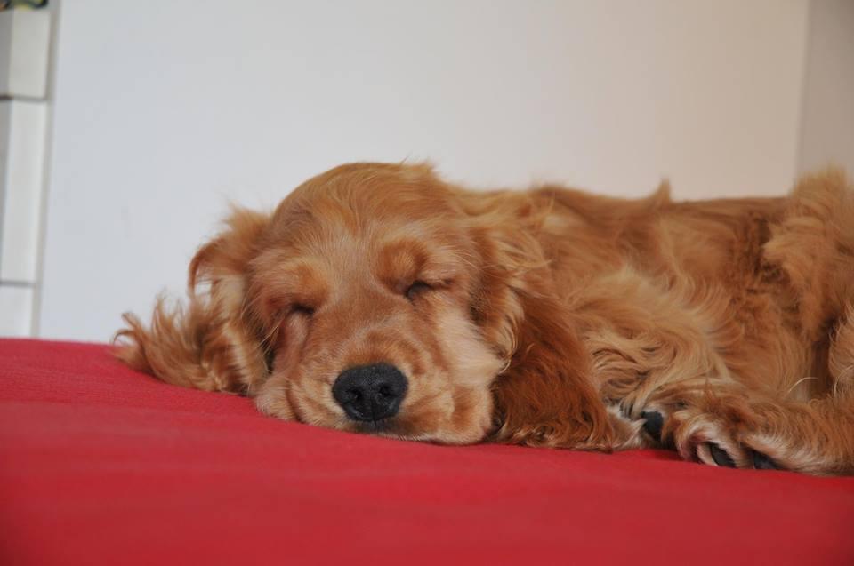 Cani sul divano - Simba