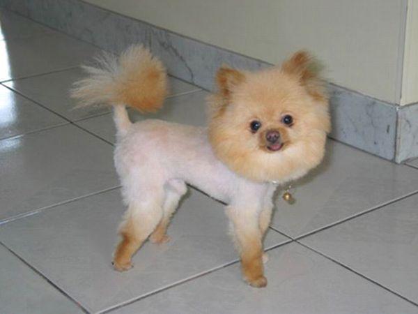tosare cane