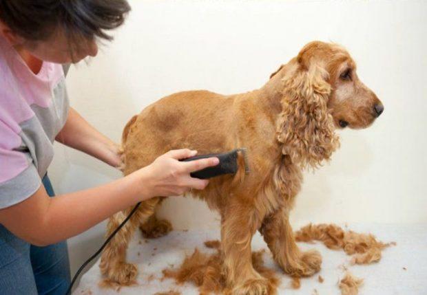 tosare cane caldo