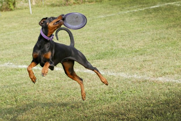 cane disc dog