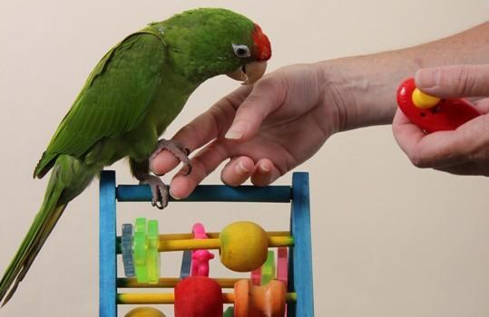 pappagallo clicker training addestramento