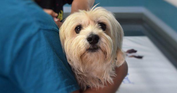 cane maltese veterinario Fb