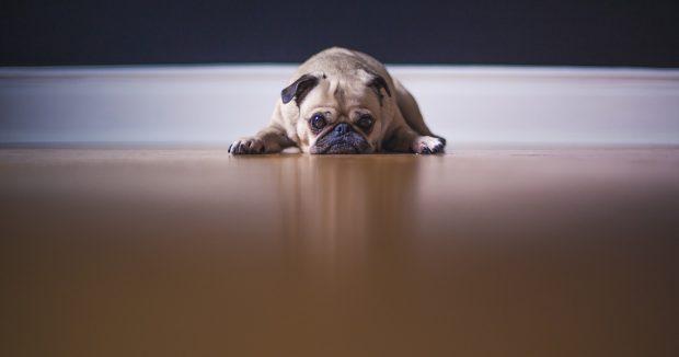 cane stress carlino 2