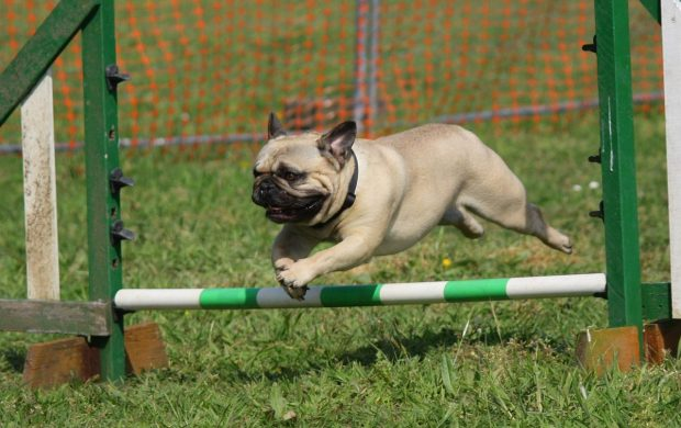 cane bouledogue francese sport agility