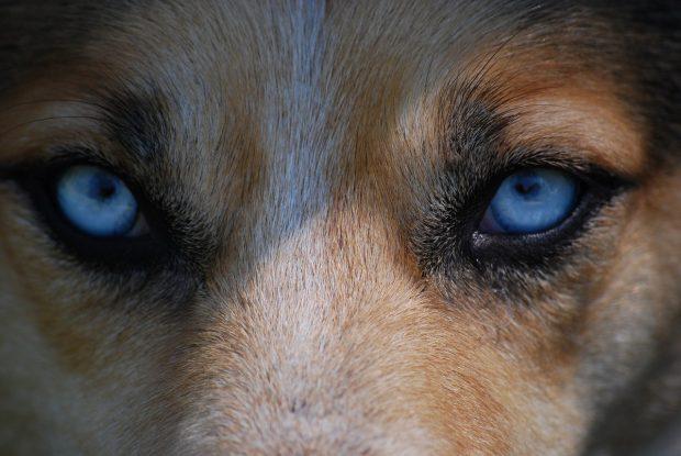 occhi vista cane