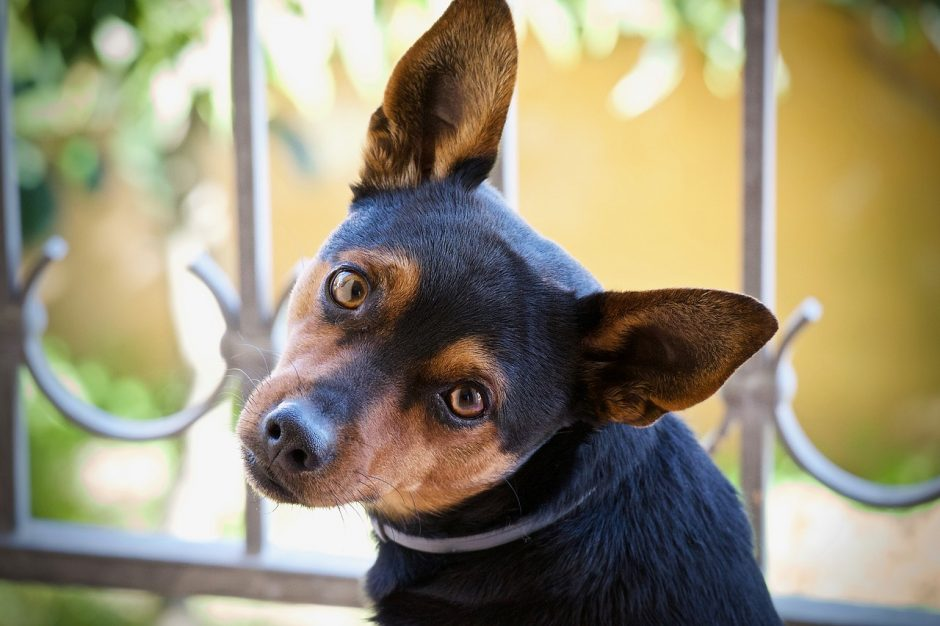 cane che inclina la testa e le orecchie di lato