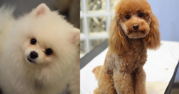 cani di razza piccoli