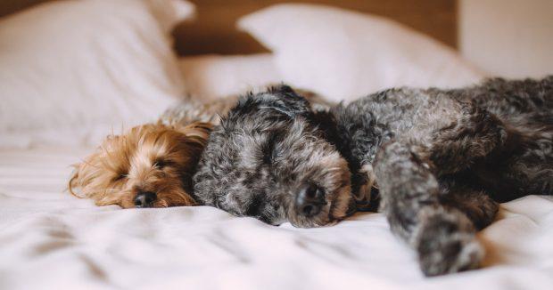cani che dormono sul letto