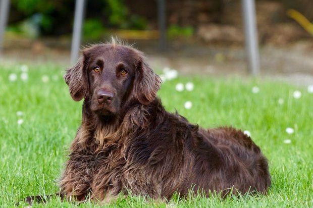 cane pelo lungo