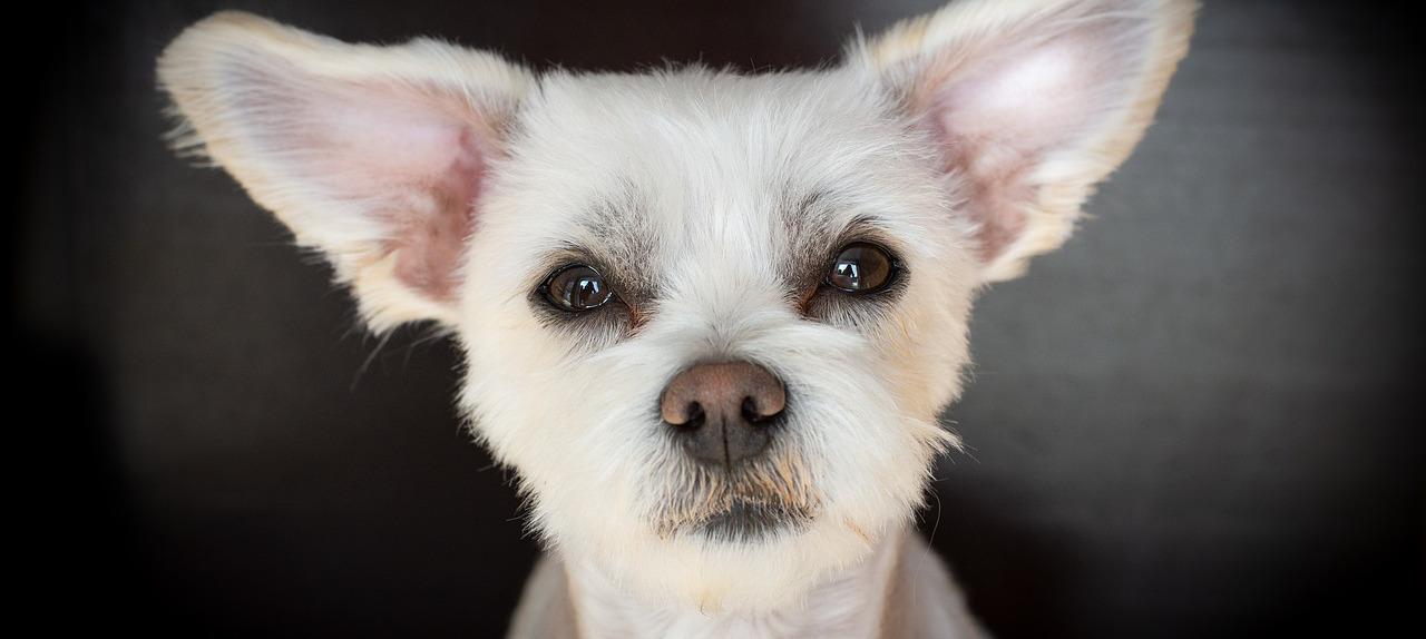 cagnolino bianco orecchie