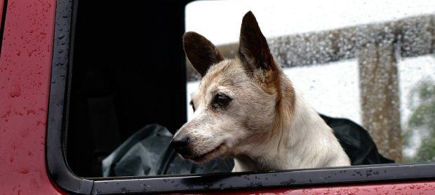 cane anziano finestrino auto
