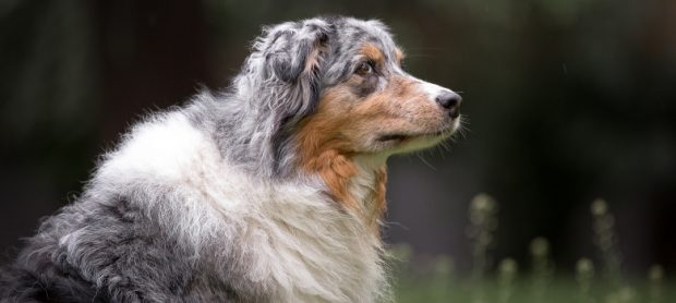 cane pastore australiano pinta