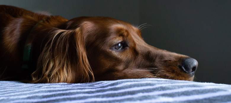 cane setter sdraiato