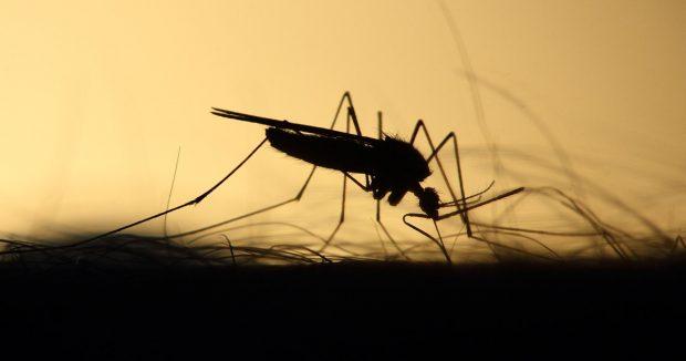 zanzare cane filaria