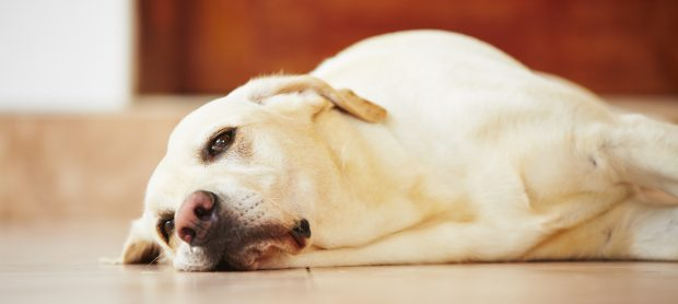 cane annoiato per terra